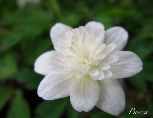 八重咲きイチリンソウ